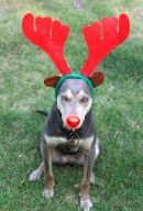 Dog dressed as Rudolf the Red-nosed Reindeer